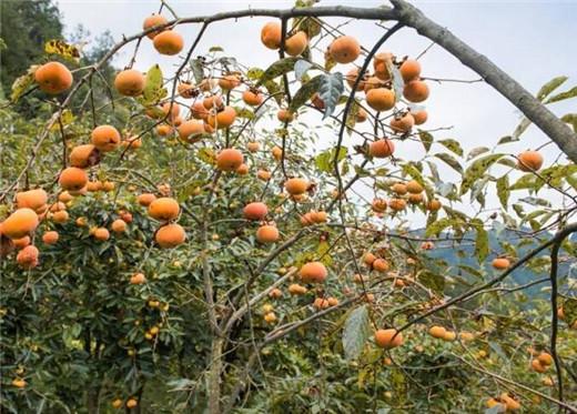 甜柿1.jpg