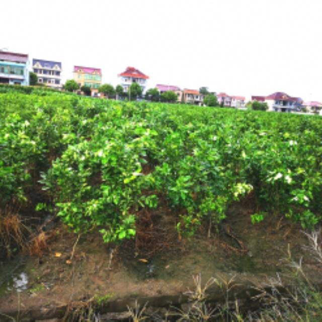 柑橘柚子苗培育基地