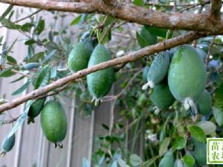 菲油果在浙江地区室外能正常过冬
