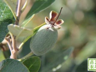菲油果的起源及引到我国的历程