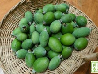 新品种菲油果有几种繁育方式菲油果要怎么栽培