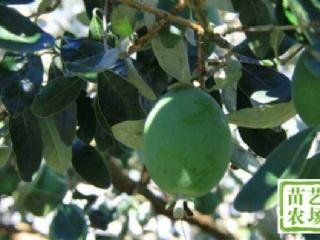 菲油果栽培种植技术