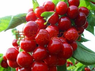 南方樱桃——红缨一号品种特性介绍