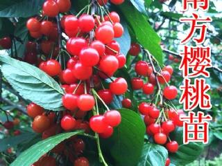 正宗适合南方种植的红缨一号樱桃苗哪里有