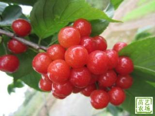 乌皮樱桃苗也叫黑珍珠樱桃的介绍及种植技术