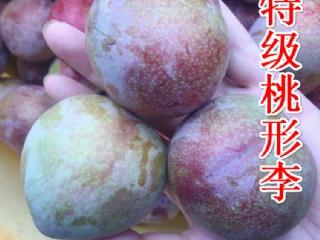嵊州桃形李糖度有19.5度,你还不快种几颗嵊州桃形苗