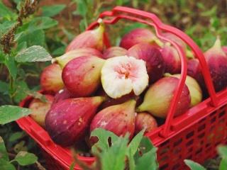 无花果有很多品种,今天带大家了解无花果的类型