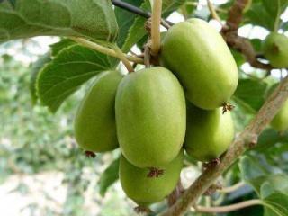 种植软枣猕猴桃的一些建议及南方种植软枣猕猴桃注意事项