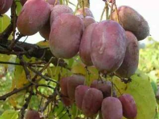 软枣猕猴桃品种介绍