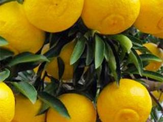 通过种植案例看春香柚柑橘苗的种植前景