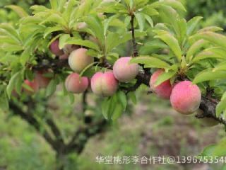 桃形李的五种吃法及加工方法