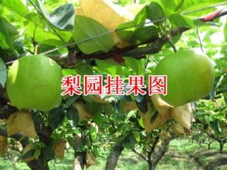 翠玉梨苗高效栽培技术及病虫害防治要点