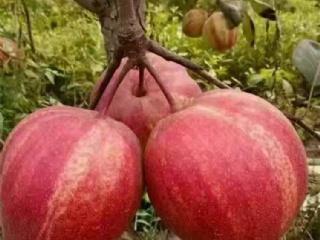 早酥红梨苗繁育基地讲早酥红梨树的管理