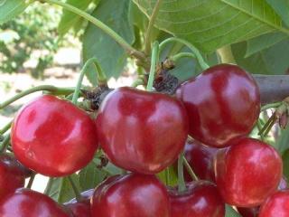 樱桃苗繁育基地教你黑珍珠樱桃(乌皮樱桃)的丰产技术