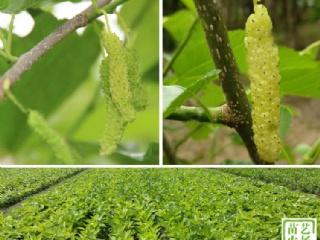 关于香金葚长白果桑苗种植户关注的常见问题