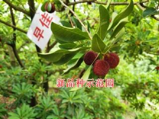 怎样提高杨梅种植成活率?