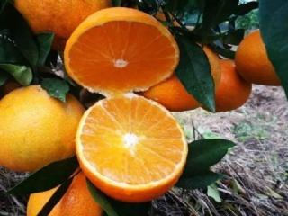 明日见柑橘介绍,口感如何