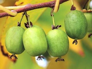 软枣猕猴桃育苗基地图片展示