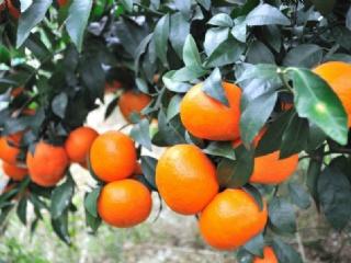 温州蜜桔中由良与大分一号区别及温州蜜桔苗的种植方法