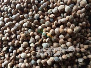 青梅种子价格,酸梅种子如何发芽、用途、价格介绍