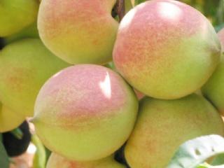 桃树种什么品种最好?