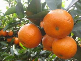 柑橘秋梢期,如何管理柑橘上病率小