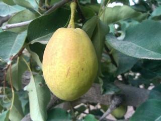梨树全年各阶段的肥水管理,从此再也不迷茫!实用好文