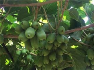 软枣猕猴桃苗的栽培管理技术