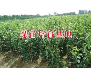 苗艺种植的梨苗的品种介绍