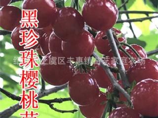 黑珍珠樱桃苗的价格及种植技术