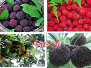 余姚杨梅的主要品种介绍