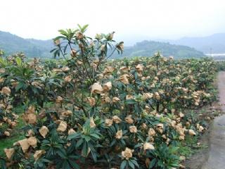 枇杷树苗种植几年才能结果,不结果的原因是什么