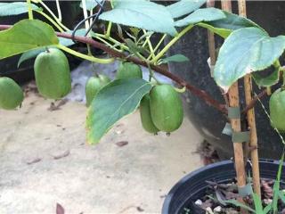 能选择种植软枣猕猴桃吗,未来的发展趋势怎么样