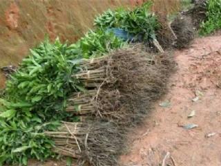 苗艺家庭农场教你如何选购优质果苗
