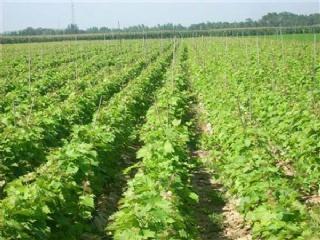 南方早熟葡萄新品种——黑宝葡萄的介绍和栽培要点