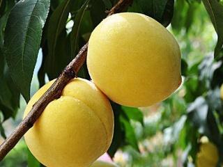 专业桃苗育苗基地大量锦绣黄桃苗正在出售