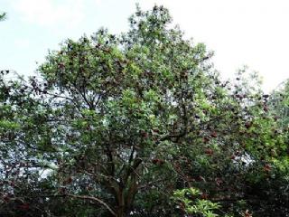 临安果苗场主营金桔苗,枇杷苗,杨梅苗等适合南方适种的果树苗
