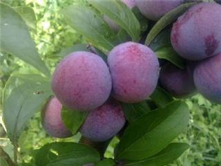 义乌果苗场主营青梅苗,李子苗,桃苗等适合南方种植的果树苗