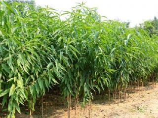 湖州果苗场主营桃苗,李子苗,梨苗等各类南方适种的果苗