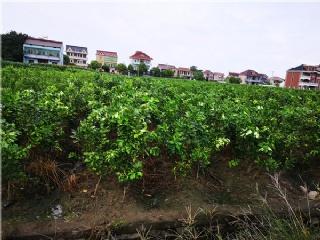 为你推荐几种适合长江流域种植的果树苗新品种