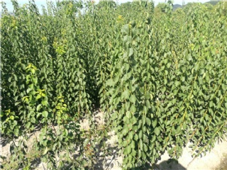 富阳果苗场主营杨梅苗,柑橘苗,梨苗等各类南方适种的果树苗