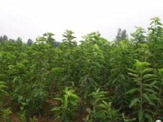 瑞安果苗场主营樱桃苗,柑橘苗等适合南方种植的果树苗