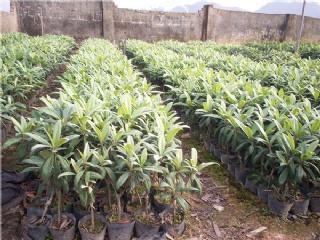 松阳果苗场主营枇杷苗,梨苗,果桑苗等适合南方种植的