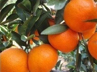 柑橘什么时候种植?柑橘树什么时间移栽成活率高?
