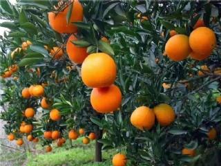 柑橘苗如何施肥,柑橘苗正确的施肥方法