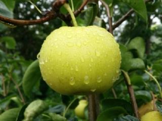 目前种植什么梨苗品种好,选择苏翠一号梨苗