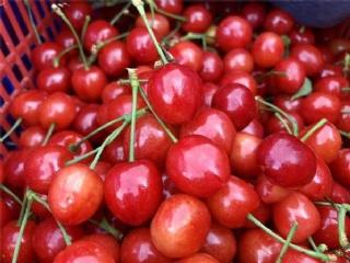 樱桃苗繁育基地一年生两年生樱桃苗都可批发