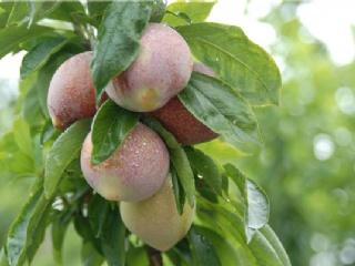 嵊州桃形李的品种特性,可以去哪批发桃形李苗
