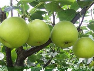 翠玉梨有哪些高产栽培技术,可以去哪批发