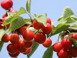 正宗的红妃樱桃苗可以去哪里批发购买